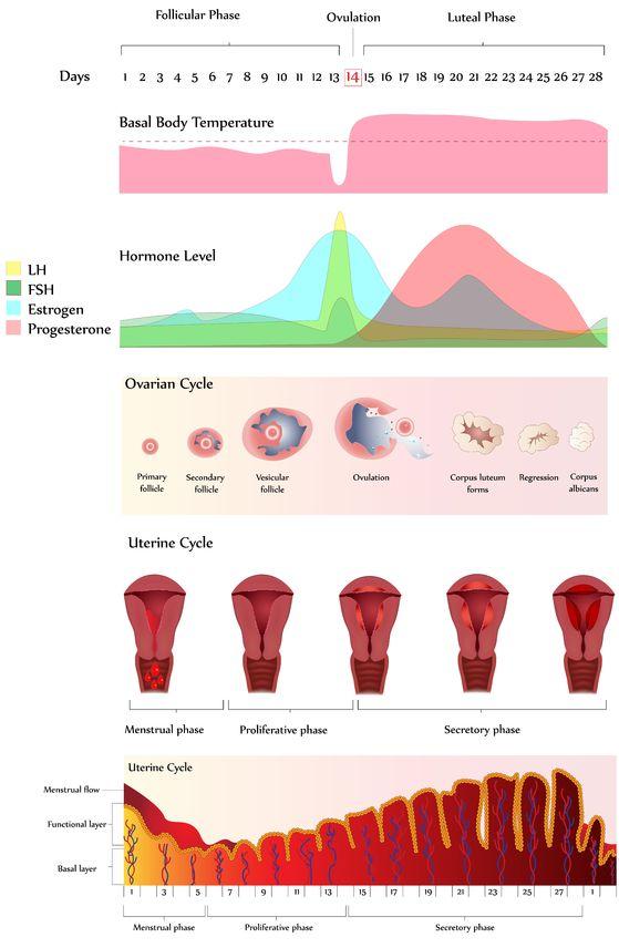 Como saber en que fase del ciclo menstrual estoy