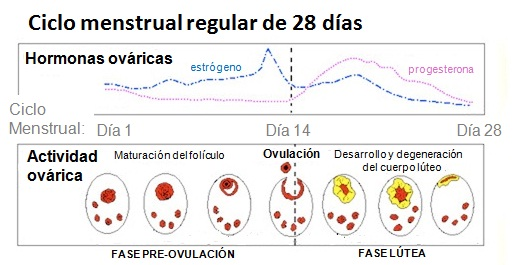 Calculadora de menstruacion irregular