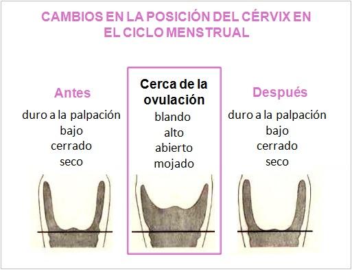 posicion cervix EyF