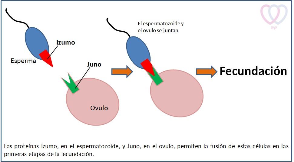 Izumo-Juno EyF